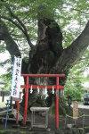 Keyaki_022
